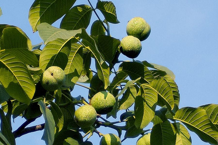它的生长习性是性喜温暖、怕霜冻。生于海拔400-1800米之山坡及丘陵地带的核桃树,花期为5月,果期为10月。喜肥沃湿润的沙质壤土,常见于山区河谷两旁土层深厚的地方。[2] 农业种植一般在海拔200米左右的低山丘陵。 核桃树的外形特征是成树树干就品种不同,其高度一般在2~10米,高者或有十几米;树冠广阔;树皮幼时灰绿色、老时则灰白色而纵向浅裂;小枝无毛、具光泽、被盾状着生的腺体,灰绿色、后来带褐色。奇数羽状复叶长25~30厘米,叶柄及叶轴幼时有极短腺毛及腺体;小叶通常是5~9枚,稀3枚,椭圆、卵形或长椭