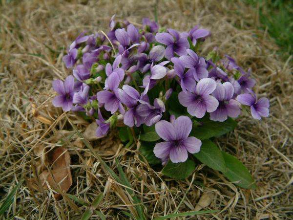 紫花地丁是中药的一种,在我国古代的医书就有着对于紫花地丁的记载,紫花地丁能治疗很多的病症,而且功效也非常全面,我们要善用它。  紫花地丁的简介 【名称】:紫花地丁 【别名】:地丁草,堇堇菜、箭头草,紫地丁、免耳草,地丁、角子,独行虎,宝剑草,犁头草,金前刀,小角子花。 【药材类别】:全草类 【性味】:苦、辛,寒。 【归经】:归心、肝经。 【入药部分】:为堇菜科植物紫花地丁的全草。 【产地和分布】:生于田间、荒地、山坡草丛、林缘或灌丛中。分布于全国大部分地区。 【形态特征】:多年生草本,高4-14cm;果期