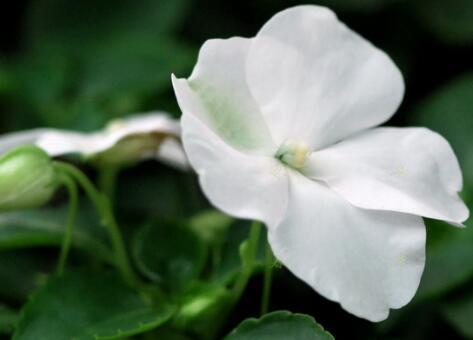 白凤仙花的作用有哪些
