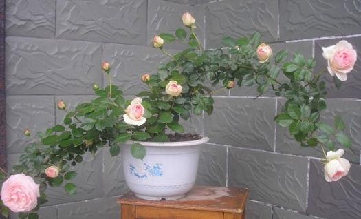 越来越多的人喜欢养月季花,由于空间有限,所以盆栽月季花的养殖受到众多花友的追捧,那么盆栽月季花的养殖方法就显得极为重要,因为盆栽不同于露地栽培,所以要区别对待。 盆栽月季花一般具有喜荫忌荫、喜湿忌涝、喜肥忌生等生长特性,因此,根据有利于月季花生长的特性来养护盆栽月季花是基础,喜荫忌荫,虽然月季是习惯充足阳光的花卉,但是由于盆栽月季的特殊性,如果暴晒过久可能会导致月季花的枯枝,特别是高层阳台,所以要适当遮荫,但并不能彻底在阴凉处养护;喜湿忌涝,保持土壤微微的潮湿有助于植物生长,但是不能因为保湿就大量浇水,