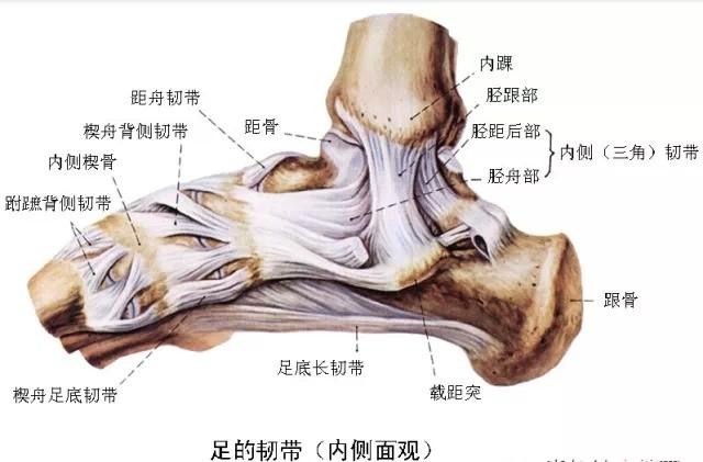 踝关节损伤时多伴有外踝骨折及胫腓联合韧带损伤