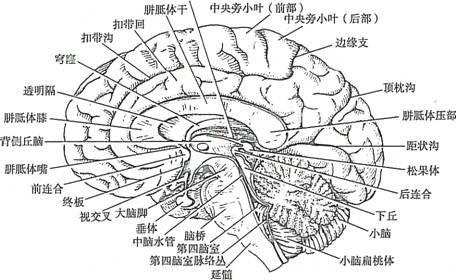 脑的解剖与功能