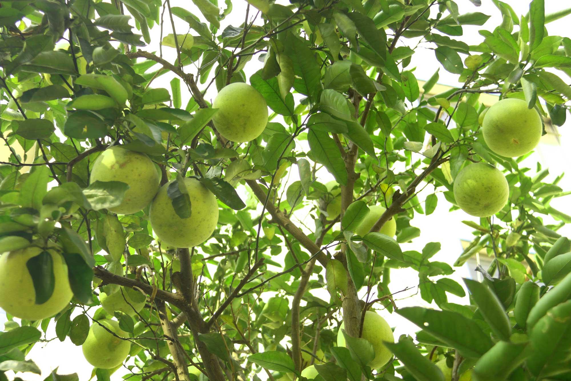 """柚子的果实大,圆形、扁圆形或阔倒卵形;成熟时呈淡黄色或橙色。果皮厚,有大油腺,不易剥离。果肉白色或红色。果味甜酸适口,秋末成熟,耐贮藏。种子单胚。 中国广西、福建、浙江、广东、四川、重庆和湖南等地均有栽培。有""""文旦柚""""""""沙田柚""""等品种。果实供生食或加工,果皮可制蜜饯。花、叶、果皮均可提取芳香油。长江以南各地,最北限见于河南省信阳及南阳一带,全为栽培。东南亚各国有栽种。折叠编辑本段生长环境栽培于丘陵或低山地带。 柚皮甙对小鼠的病毒感染有保护作用;患此症之小鼠的脾匀浆的上清液中,琥珀酸脱氢酶的活力较"""