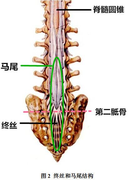出生3个月后,脊髓圆锥升到第1节腰椎的位置,就和成人一样了.