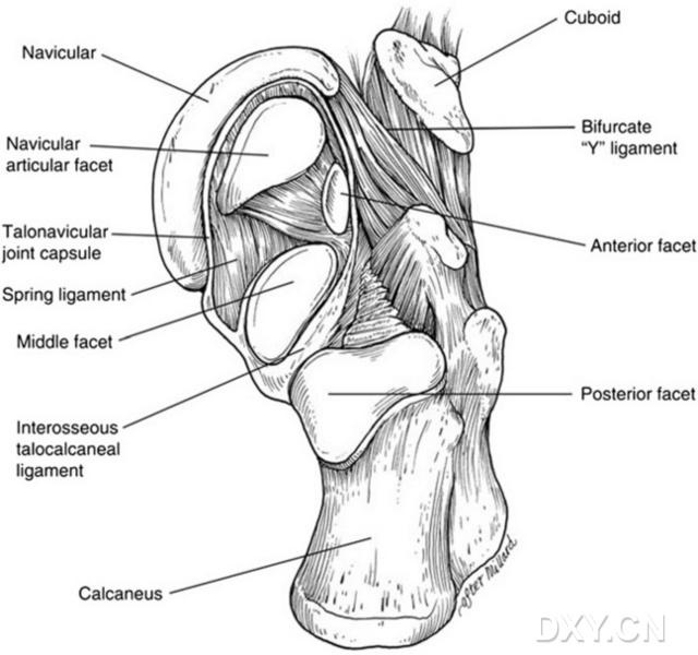 图.2 足窝的解剖   Lisfranc关节由 是足纵弓和横弓的关键结构.在横