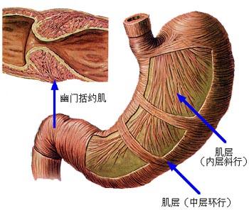 胃前壁左侧与左半肝邻近,右侧与膈邻近,其后壁隔网膜囊与胰腺、左图片