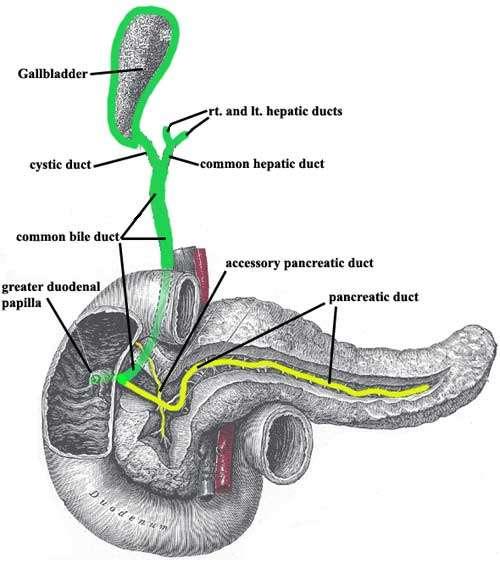 胆总管结石应用解剖图