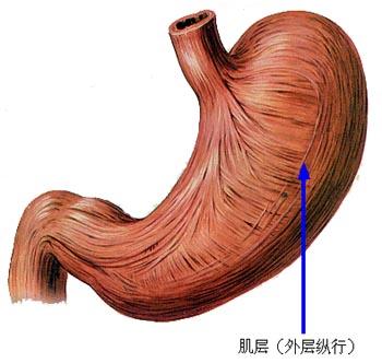 胃的分层结构图