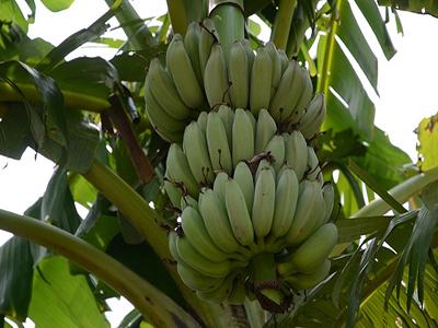 芭蕉和香蕉图片长啥样图片