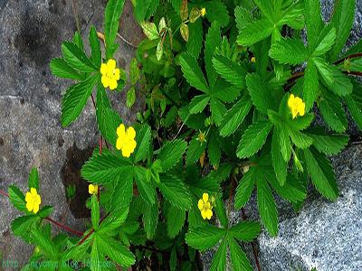 存生弱茎,一茎三叶,尖长而厚,有皱纹锯齿,面青背白,四月开小黄花,结子图片