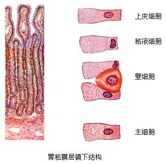 胃解剖会是什么样子的