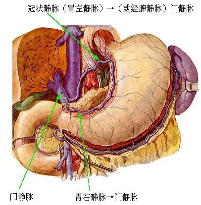胃解剖 转载