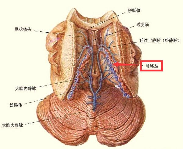 什么是脉络丛?   在脑室的一定部位,软脑膜及其上的血管与室管膜上皮共同构成脉络组织,其中有些部位血管反复分支成丛,连同其表面的软脑膜和室管膜上皮一起突入脑室形成脉络丛,为产生脑脊液的主要结构。  (脉络丛位置及形状)   侧脑室脉络丛产生的脑嵴液经室间孔流至第三脑室,与第三脑室产生的脑嵴液汇合,经中脑水管流至第四脑室,再与第四脑室脉络丛产生的脑嵴液一起,经第四脑室正中孔和第四脑室外侧孔流入小脑延髓池,并迅速扩散至整个蛛网膜下隙,流向大脑背面,经蛛网膜粒渗入到上矢状窦,会流入血液循环中。    什么是