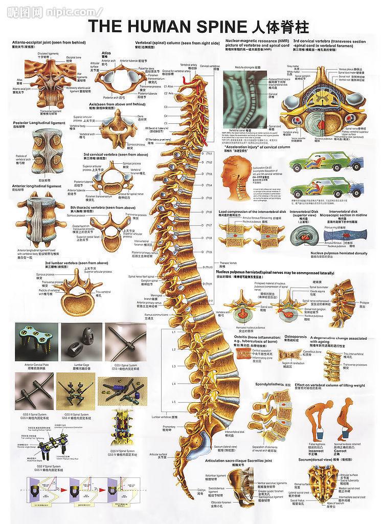 人体脊柱结构图解