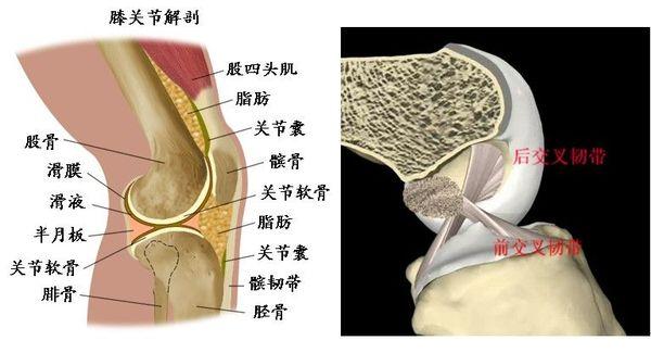 """""""股骨""""是大腿的一根大骨,""""胫骨""""是小腿的一根大骨,""""腓骨""""是非曲直"""