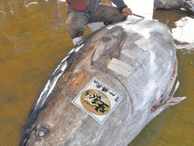 日本捕獲2.82米長巨型金槍魚 孕婦不應多食