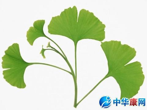 芹菜叶柄的纵切手绘图
