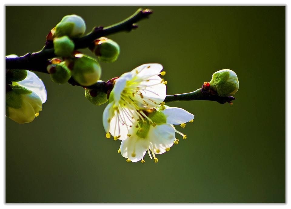 绿萼梅的价格