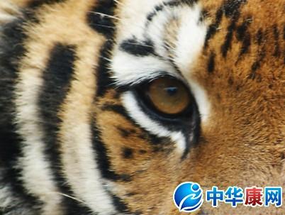 """【来源】为猫科动物虎眼睛,动物形态详""""虎骨""""条."""