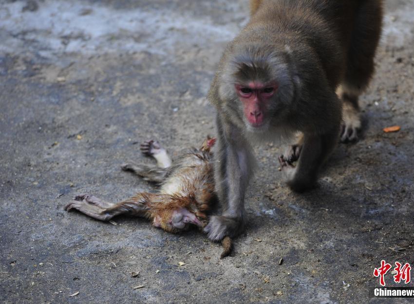 福州动物园小猕猴夭折母猴寸步不离