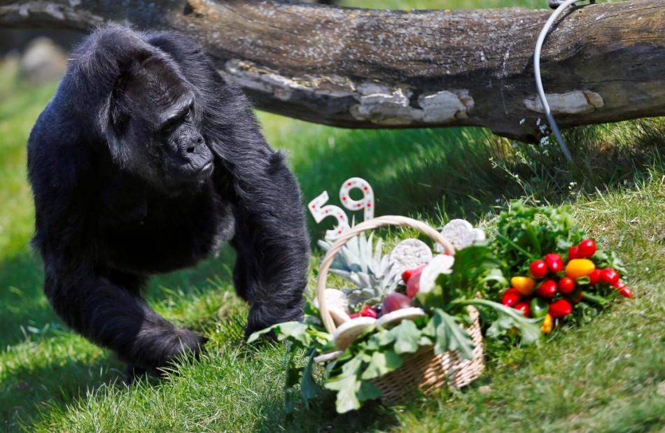 一周看天下:日本动物园猩猩出逃