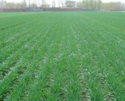 小麦苗榨汁的功效