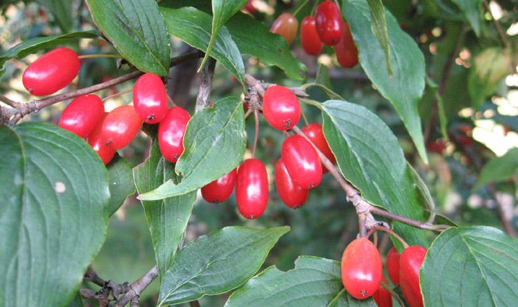山茱萸施用有机肥栽培技术