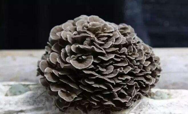 灰树花对癌症是否有效