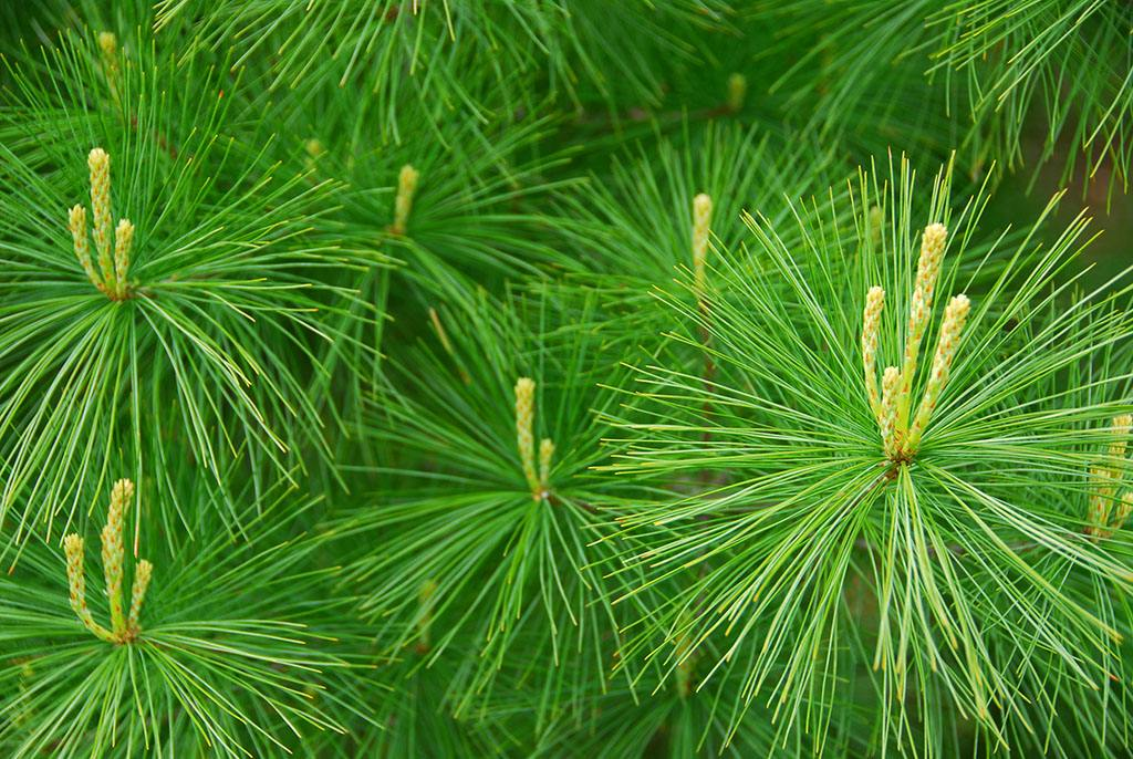 中药松叶是松树松针吗问题解答图片
