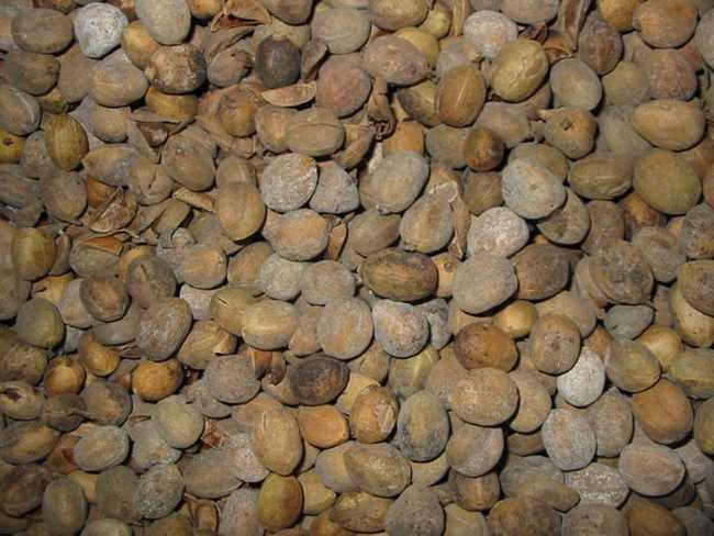 中药巴豆的作用_中药巴豆的功效与作用