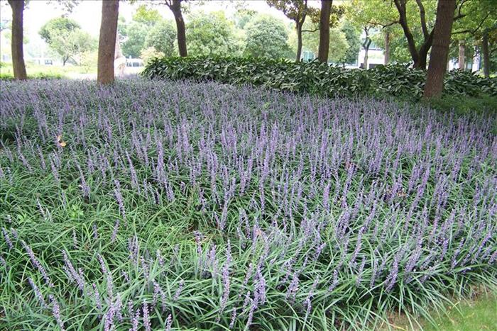 壁纸 草 成片种植 风景 绿色 植物 种植基地 桌面 700_467