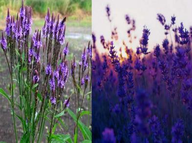 马鞭草和薰衣草的区别是什么呢