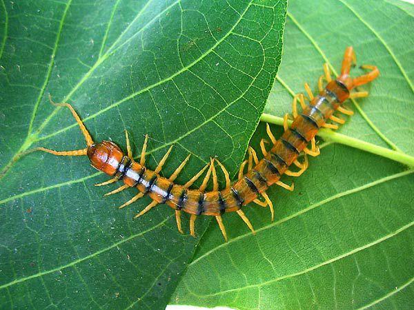 蜈蚣为陆生节肢动物,身体由许多体节组成,每一节上均长有步足,故为多