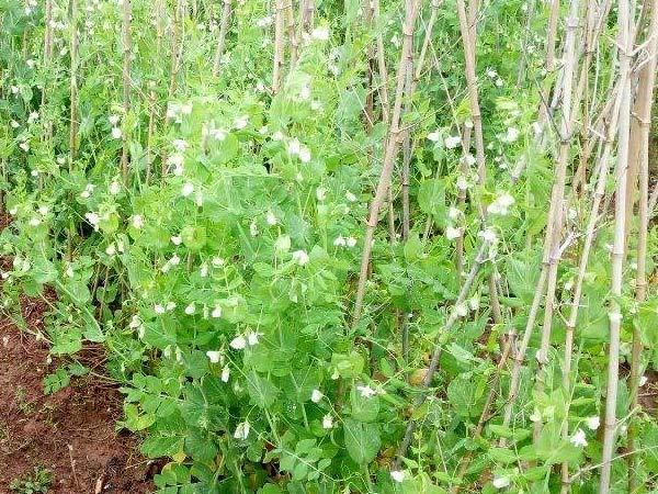 荷兰豆v洋葱栽培技术洋葱炒肝图片