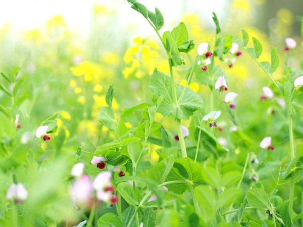 荷兰豆、甜豌豆栽培技术鸭肚和鸭肠区别图片