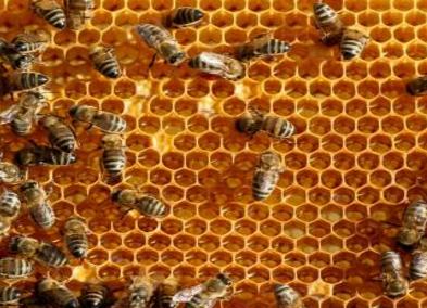 中药蜂房的功效和作用是什么呢