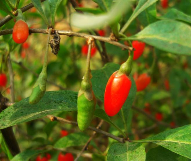 山茱萸枸杞的功效分别是什么呢